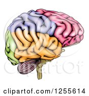 Clipart Of A Colorful Anatomically Correct Human Brain Royalty Free Vector Illustration by AtStockIllustration