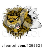 Clipart Of A Roaring Lion Mascot Head Breaking Through A Wall Royalty Free Vector Illustration