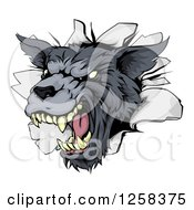 Clipart Of A Snarling Gray Wolf Mascot Head Breaking Through A Wall Royalty Free Vector Illustration