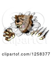 Clipart Of A Vicious Aggressive Bear Mascot Slashing Through A Wall Royalty Free Vector Illustration