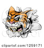 Clipart Of A Vicious Tiger Mascot Breaking Through A Wall Royalty Free Vector Illustration