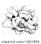 Clipart Of A Black And White Snarling Wolf Mascot Head Breaking Through A Wall Royalty Free Vector Illustration by AtStockIllustration