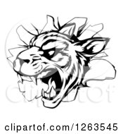 Clipart Of A Black And White Vicious Tiger Mascot Breaking Through A Wall Royalty Free Vector Illustration