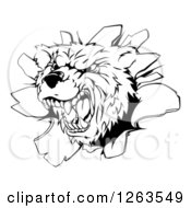 Clipart Of A Black And White Vicious Aggressive Bear Mascot Breaking Through A Wall Royalty Free Vector Illustration by AtStockIllustration