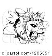 Clipart Of A Black And White Roaring Lion Head Breaking Through A Wall Royalty Free Vector Illustration