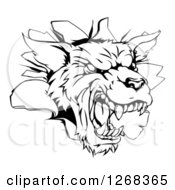 Clipart Of A Black And White Wolf Mascot Head Breaking Through A Wall Royalty Free Vector Illustration by AtStockIllustration