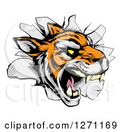Clipart Of A Mad Tiger Mascot Breaking Through A Wall Royalty Free Vector Illustration