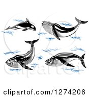 Clipart Of Black And White Whales With Blue Waves Royalty Free Vector Illustration
