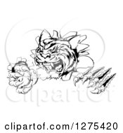 Clipart Of A Black And White Angry Tiger Mascot Slashing Through A Wall Royalty Free Vector Illustration