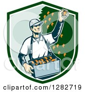 Clipart Of A Retro Woodcut Male Fruit Picker Harvesting Oranges In A Green And White Shield Royalty Free Vector Illustration