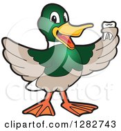 Happy Mallard Duck School Mascot Character Holding A Tooth