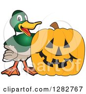 Clipart Of A Happy Mallard Duck School Mascot Character By A Halloween Jackolantern Pumpkin Royalty Free Vector Illustration by Toons4Biz