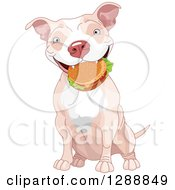 Cute Happy Tan And White Pit Bull Dog Sitting With A Cheeseburger In His Mouth