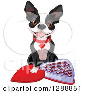 Cute Boston Terrier Dog With An Open Heart Shaped Box Of Valentines Day Chocolates