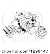 Clipart Of A Black And White Vicious Aggressive Bear Mascot Slashing Through A Wall Royalty Free Vector Illustration