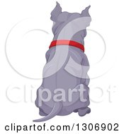 Rear View Of A Sitting Blue Or Silver Pitbull Dog Wearing A Red Collar