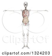 3d Full Human Skeleton With Visible Organs On White
