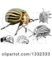 3d And Grayscale Colorado Potato Beetles And Larvae