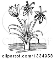 Clipart Of A Black And White Woodcut Herbal Saffron Crocus Plant Royalty Free Vector Illustration