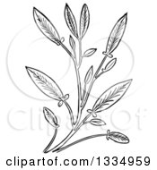 Clipart Of A Black And White Woodcut Herbal Sage Plant Royalty Free Vector Illustration