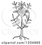 Clipart Of A Black And White Woodcut Herbal Sweet Bay Plant Royalty Free Vector Illustration
