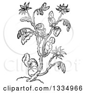 Clipart Of A Black And White Woodcut Herbal Borage Plant Royalty Free Vector Illustration