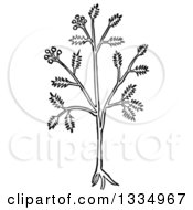 Clipart Of A Black And White Woodcut Herbal Caraway Persian Cumin Plant Royalty Free Vector Illustration