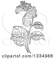 Clipart Of A Black And White Woodcut Herbal Clary Sage Plant Royalty Free Vector Illustration