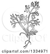 Clipart Of A Black And White Woodcut Herbal Dill Plant Royalty Free Vector Illustration