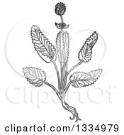 Clipart Of A Black And White Woodcut Herbal Medicinal Betony Plant Royalty Free Vector Illustration