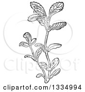 Clipart Of A Black And White Woodcut Herbal Medicinal Pennyroyal Plant Royalty Free Vector Illustration