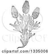 Black And White Woodcut Aromatic Herbal Lavender Plant