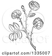 Clipart Of A Black And White Woodcut Aromatic Herbal Rose Plant Royalty Free Vector Illustration