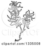 Clipart Of A Black And White Woodcut Aromatic Culinary Herbal Rosemary Plant Royalty Free Vector Illustration