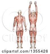 Clipart Of A 3d Rear View Of An Anatomical Man With Visible Muscles Showing Scapula Upward And Downward Rotation On A White Background Royalty Free Illustration