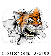 Clipart Of A Ferocious Tiger Mascot Head Breaking Through A Wall Royalty Free Vector Illustration