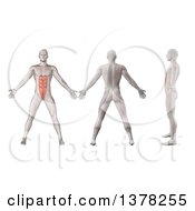 Clipart Of A 3d Anatomical Men Shown With Visible Rectus Abdominis Muscles Back Side And In Profile On A White Background Royalty Free Illustration