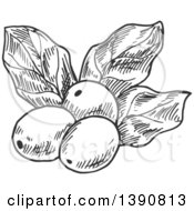 Clipart Of Gray Sketched Coffee Berries And Leaves Royalty Free Vector Illustration