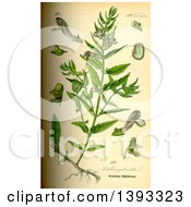 The Marsh Skullcap Hooded Skullcap Common Skullcap Scutellaria Galericulata In The Labiatae Family C 1885
