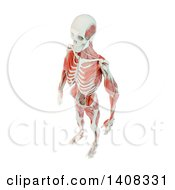 3d Detailed Man With Visible Skeleton And Deep Muscles On A White Background