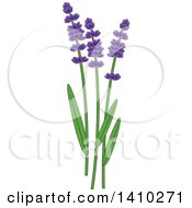 Culinary Herb Spice - Lavender