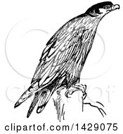Clipart Of A Vintage Black And White Hawk Royalty Free Vector Illustration