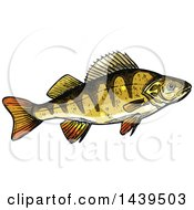 Clipart Of A Sketched And Colored Perch Fish Royalty Free Vector Illustration