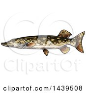 Clipart Of A Sketched And Colored Pike Fish Royalty Free Vector Illustration