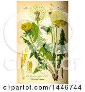 Picture Of Common Dandelion Taraxacum Officinale