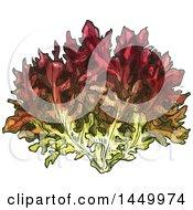 Sketched Lollo Rosso Lettuce