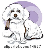 Cute White Bichon Frise Dog Carrying A Leash In Its Mouth And Begging To Be Walked