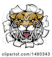 Clipart Of A Vicious Wildcat Mascot Head Breaking Through A Wall Royalty Free Vector Illustration by AtStockIllustration