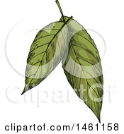 Clipart Of Sketched Bay Leaves Royalty Free Vector Illustration