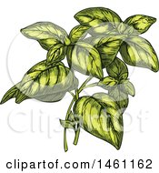 Clipart Of Sketched Oregano Royalty Free Vector Illustration